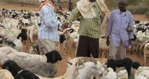 الثروة الحيوانيّة من أبرز دعائم النمو في الصومال
